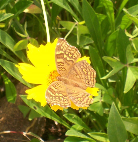 butterfly and daisy 5.jpg