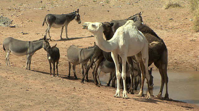 camels-including-rare-white-one-and-donkeys-at-watering-hole-merzouga-video-id91276247